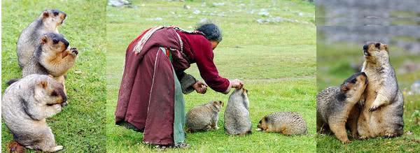 喜马拉雅旱獭Marmota himalayana(照片引自百度百科)