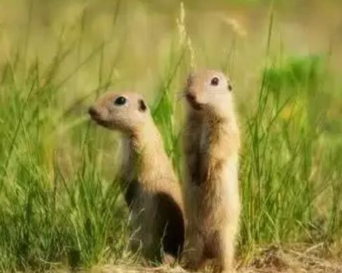 达乌尔黄鼠Spermophilus dauricus(照片引自搜狗图片)