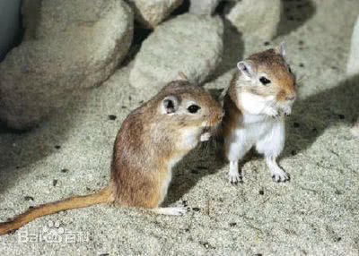 长爪沙鼠Meriones unguiculatus(照片引自搜狗图片)